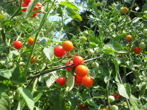 Cherry tomatoes - image from Big Stock Photos - royalty-free high quality low cost images - click image for further info - opens in a new tab/window